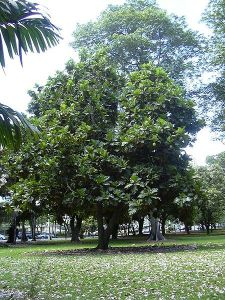 450px-Breadfruit_Tree